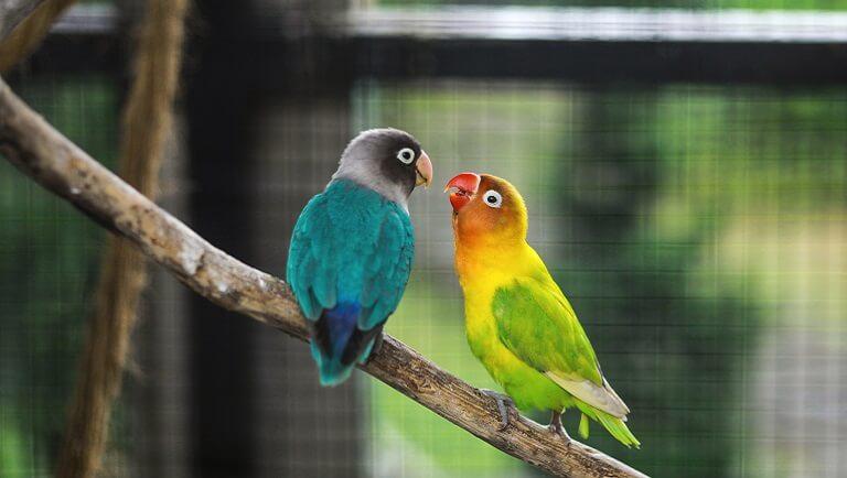 попугайчики в квартире