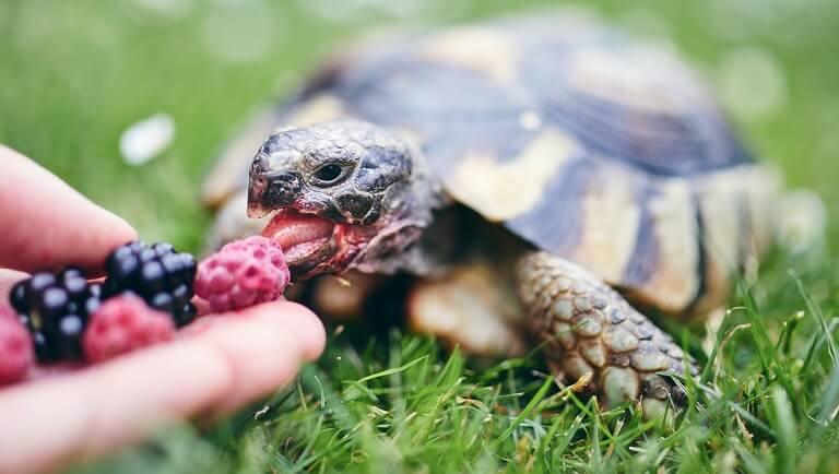сухопутная домашняя черепаха